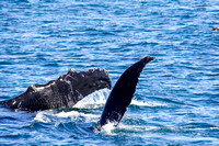 Humpback Whale Showing his Flukes and Flippers-14
