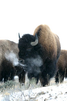 Bison Breath, Cold Winter Morning