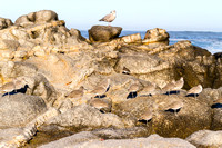 Willets on the California Coast-2