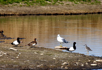 Yellowlegs, Scaup, and Gull