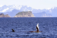 Humpback whale, Kenai Fjords National Park-4