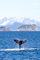 Humpback whale, Kenai Fjords National Park-3