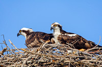 Ospreys in Nest, Everglades National Park-5