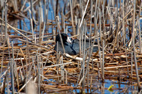 American Coot on a Nest-2