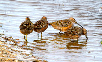 A Flock of Dowitchers on a North Dakota Slough