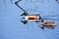 Northern Shovelers on a Pond-5