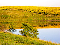 Sunflower field reflection, North Dakota-1-2