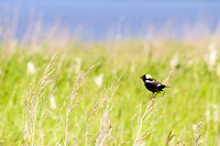 Bobolink on the Dakota Prairie-2
