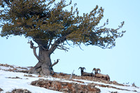Bighorn Sheep Bedded Under Tree, Yellowstone National Park, Wyoming-6