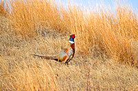 Rooster Pheasant (4 of 5)
