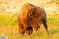 Bison Bellering, North Dakota Badlands