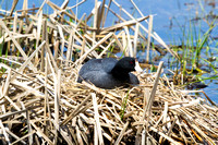 American Coot on a Nest-4