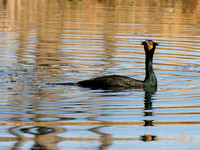 Cormorant Swimming