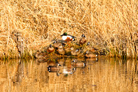 Blue-winged teal and Shoveler on a Bank-2