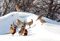Pheasants in the Snow (17 of 17)
