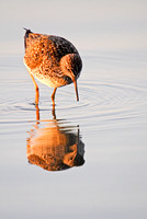 Yellowlegs and Reflection in a Pond-2