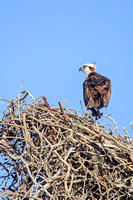 Ospreys in Nest, Everglades National Park