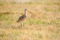 Marbled Godwit on the Ground-3