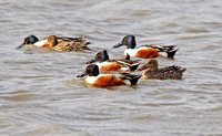 Northern Shovelers on a Pond-2-2