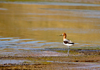 American Avocet in a North Dakota Slough