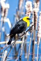Yellow-Headed Blackbird in the Marsh-12-2
