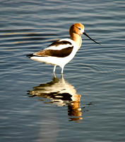 American Avocets and Reflection