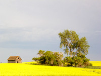 Abandoned Farmstead and Canola Field, Central North Dakota