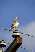 Upland Sandpiper on a Power Pole-2