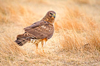 Northern Harrier on the Ground-2