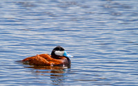 Ruddy Duck Drake on Pond-2