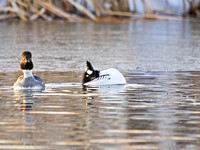 Goldeneyes Displaying-5