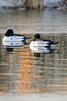 Goldeneyes on a Pond-6