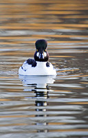 Goldeneyes on a Pond-8