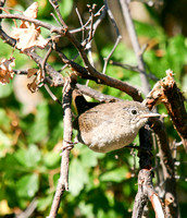 House Wren in the North Dakota Badlands-4