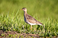Upland Sandpiper on the Ground