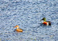 Northern Shovelers on a Pond-2