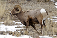 Winter Bighorn Sheep in Yellowstone National Park-13