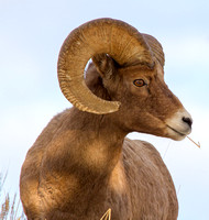 Winter Bighorn Sheep in Yellowstone National Park-4-2