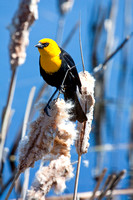 Yellow-Headed Blackbird in the Marsh-11-2
