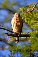 Red-Shouldered Hawk, Florida Everglades-5