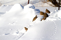 Hungarian Partridge in the Snow (5 of 5)