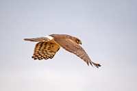 Northern Harrier in Flight-1