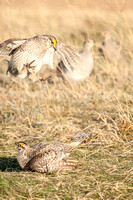 Sharptail Grouse Fighting-4
