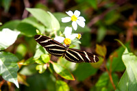 Butterfly on Flower, Florida