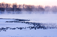 Canada Geese on a Frosty Morning-10