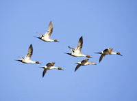 Pintails Flying-2-2