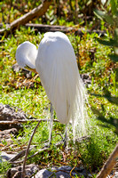 Great Egret Preening-1
