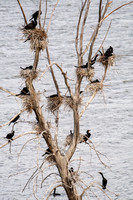 Cormorants Nesting in Tree-2
