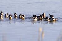 Large Flock of American Avocets-2