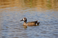 Blue-winged teal on a Marsh
